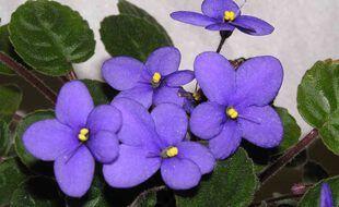 Des violettes (illustration)