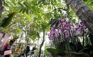 Phalaenopsis, Cymbidiums... plus de mille pieds d'orchidées, des plus discrètes aux plus chatoyantes, vont fleurir pendant près d'un mois la serre tropicale du Jardin des Plantes, à Paris, au grand bonheur des passionnés de ces plantes aujourd'hui vedettes des étals des fleuristes.