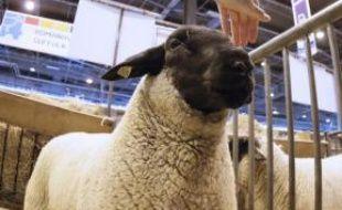 Chaque année des moutons sont abattus illégalement en France pour la fête de l'Aïd.