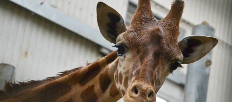 Illustration de girafe