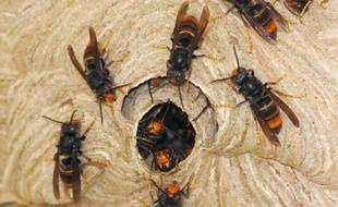 Photo non datée prise entre juillet et septembre 2008 dans le département de la Dordogne de frelons asiatiques à l'entrée d'un nid