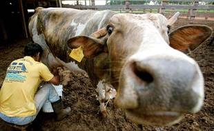 Une vache dans le Ranch Alvorada àMato Grosso do Sul, au Brésil.
