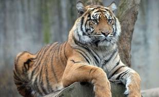 Image d'illustration d'un tigre.