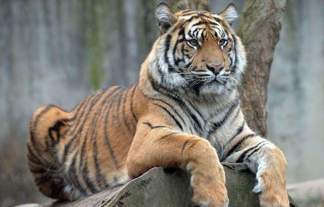 648x415 image illustration tigre