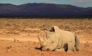 Pour éviter l'extinction des rhinocéros massacrés pour leurs cornes, des défenseurs des animaux ont opté pour une solution aussi radicale qu'onéreuse. Quatre-vingt mammifères vont être transférés d'Afrique du Sud pour l'Australie