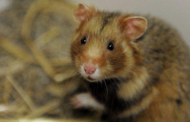 Le gouvernement au secours du grand hamster d'Alsace (Archives)