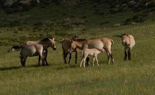 Des chevaux de Przewalski dans le parc national Hustai en Mongolie, le 5 juin 2013
