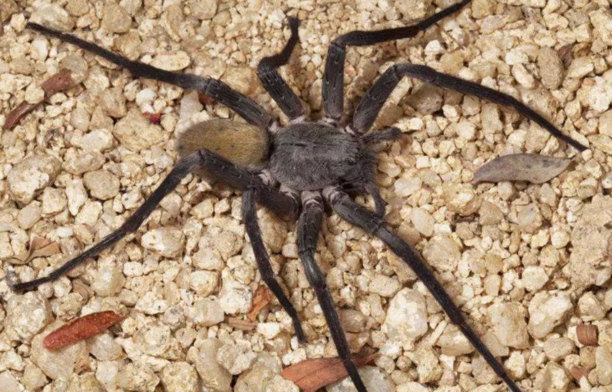 La Califorctenus Cacachilensis esy une nouvelle espèce d'araignée d'un diamètre d'environ 23 cm qui a été découverte par des scientifiques en Basse Californie, au nord-ouest du Mexique. – Michael Wall, Ph.D.