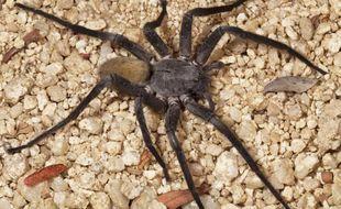 La Califorctenus Cacachilensis esy une nouvelle espèce d'araignée d'un diamètre d'environ 23 cm qui a été découverte par des scientifiques en Basse Californie, au nord-ouest du Mexique.