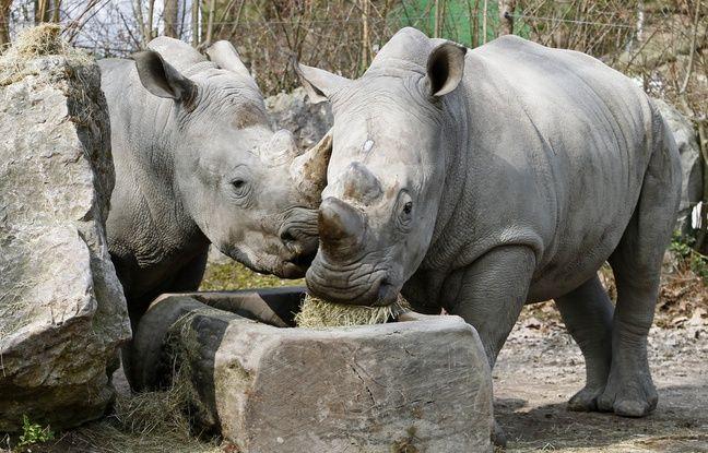 Lille, le 14 mars 2012. Flannery et Kimba, deux jeunes rhinocŽros blancs, ont ŽtŽ accueillis en avril 2011 par le parc zoologique municipal dans le cadre du programme d'Žlevage europŽen (EEP).
