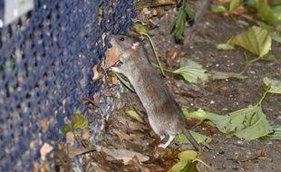 Des Rats dans le parc de la Tour Saint-Jacques à Paris.