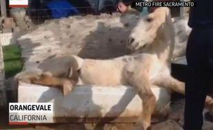 Un cheval coincé dans une baignoire en Californie