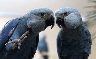 Un couple de perroquets de l'espèce Ara de Spix.