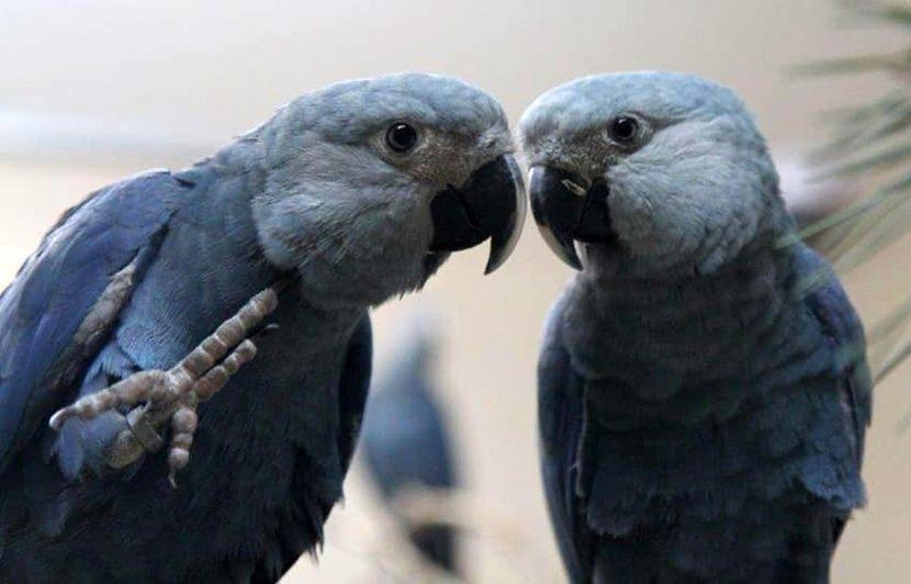 Comment le parc belge Pairi Daiza œuvre à la réintroduction d'un perroquet, le ara de Spix, au Brésil