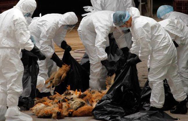 Des poulets morts de la grippe H5N1 à Hong-Kong, le 21 décembre 2011.