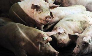 Des porcs dans un élevage à  Ploneour-Lanvern (Finistère), le 11 août 2015.