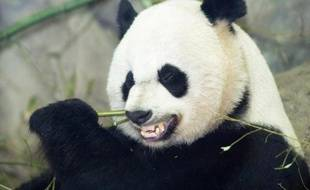 Mei Xiang mange une branche de bambou pour son petit-déjeuner, le 6 janvier 2014 au Smithsonian National Zoo de Washington