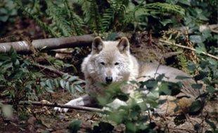 Le réseau d'observateurs n'a pas constaté de reproduction du loup dans les Pyrénées.