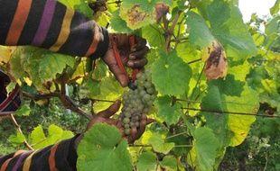 Début de la récolte du Muscadet dans l'ouest de la France