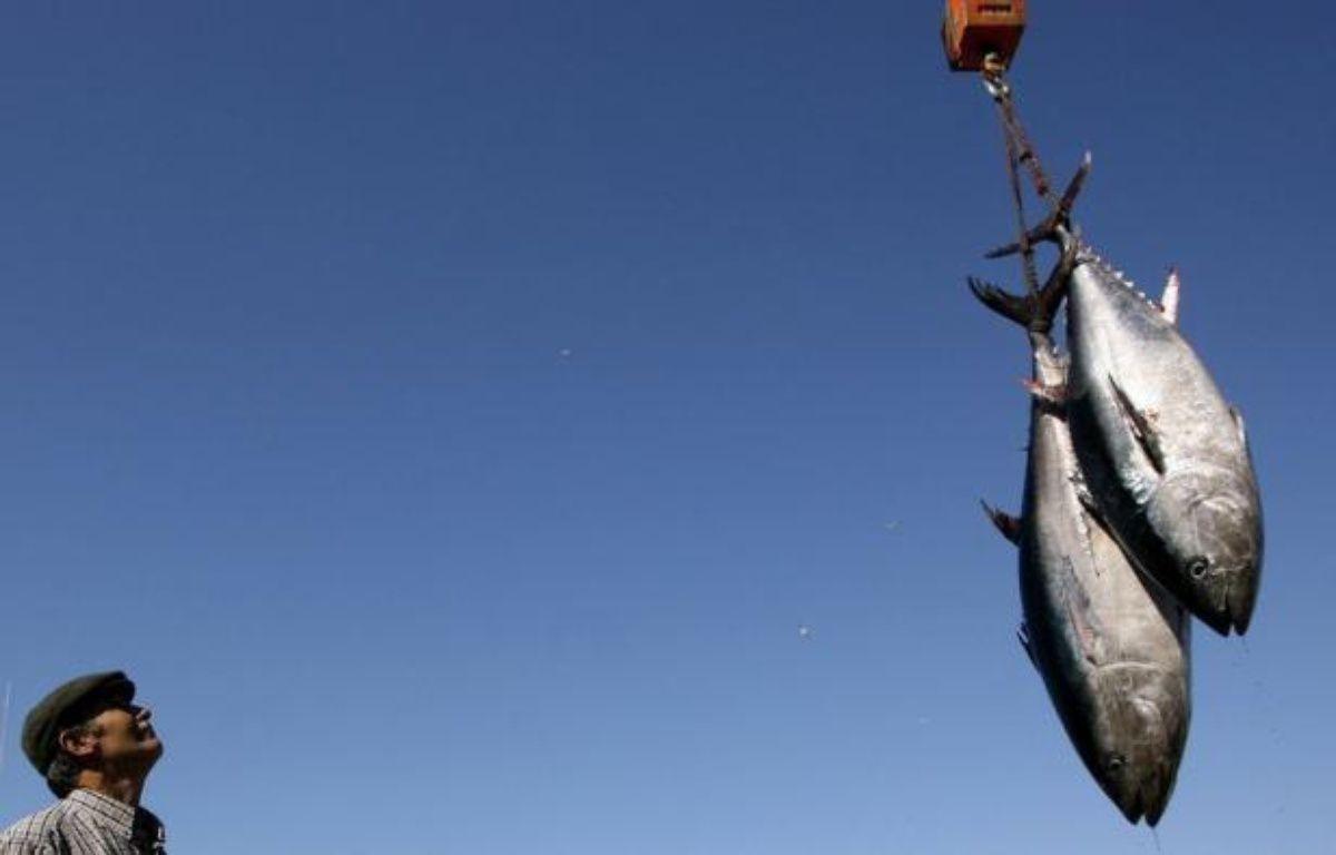 Les pays chargés de gérer la pêche au thon rouge ont décidé lundi, après une semaine de débats à huis clos au Maroc, de relever légèrement les quotas pour 2013 et 2014 en Méditerranée conformément aux recommandations scientifiques, une décision saluée par les ONG. – Jose Luis Roca afp.com
