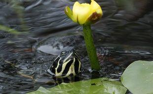 Illustration d'une tortue dite de Floride.