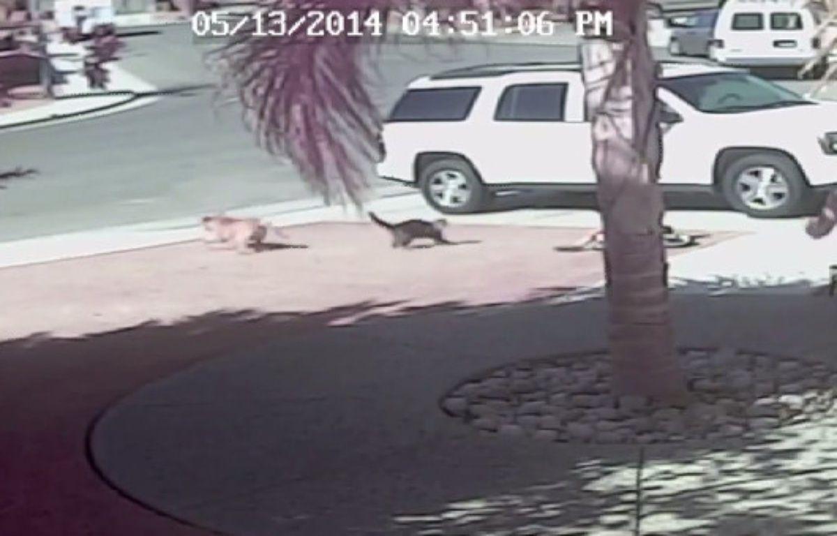 Un chat défend son maître attaqué par un chien. – DR