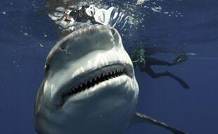 Des investigations sont en cours en Nouvelle-Calédonie pour retrouver le corps d'un pêcheur qui, selon des témoins, aurait été victime d'une attaque de requin. (Illustration)