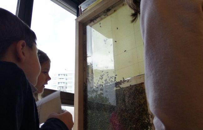 Dans cette ruche d'observation récemment installée dans une école à Strasbourg, 5.000 abeilles vont former leurs alvéoles.