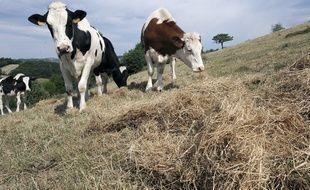 Des vaches dans un champ - Image d'illustration.
