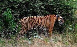 La Russie, plutôt bonne élève de la sauvegarde du tigre, organise du 21 au 24 novembre à Saint-Pétersbourg, sous l'autorité de Vladimir Poutine, un sommet des treize pays abritant encore ce félin menacé, avec pour objectif d'en doubler la population à l'état sauvage d'ici 2022.