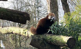 Le nouveau panda roux nommé Riaridh (prononcer Roo-Ray), au zoo de Lille.