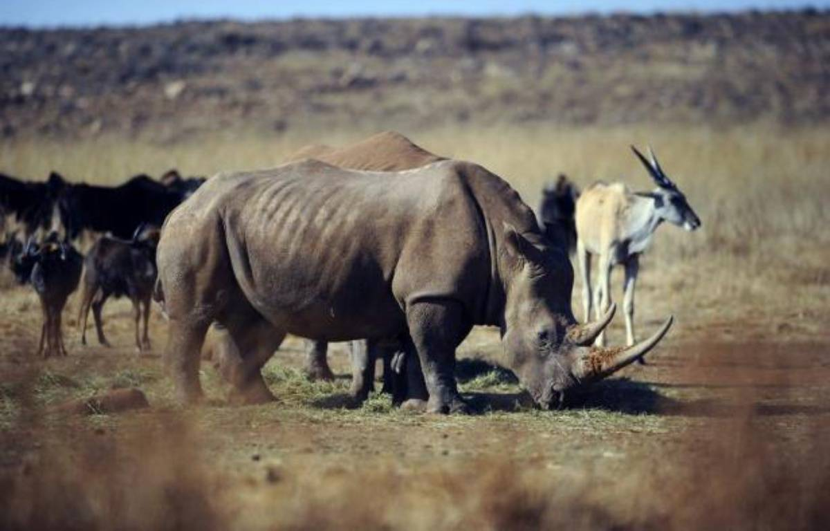 Le Vietnam surtout, mais aussi la Chine et la Thaïlande, jouent un rôle majeur dans le trafic d'ivoire d'éléphants et de cornes de rhinocéros, provoquant le massacre de ces animaux en Afrique du Sud et centrale, souligne lundi l'organisation écologiste WWF. – Stephane de Sakutin afp.com