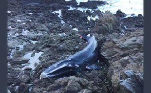 Une baleine s'est échouée à Batz-sur-Mer (Loire-Atlantique).