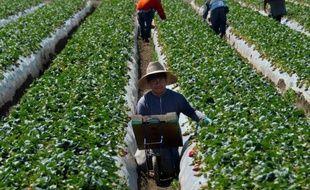 Première agriculture des Etats-Unis, la Californie souffre d'une pénurie de main-d'oeuvre chronique, les travailleurs, pour l'essentiel des immigrés illégaux, fuyant les conditions de travail difficiles dans les champs.