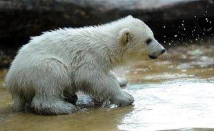 Un petit ourson polaire vient de faire ses premiers pas, mal assurés mais très médiatisés, au zoo de Toronto et est rapidement devenu la coqueluche des internautes.