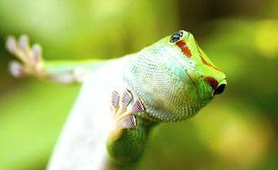 Gecko Phelsuma madagascariensis originaire de Madagascar