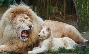 Jabu, le lion blanc, emblème du Zoo de La Flèche (Sarthe) est mort.