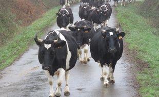 Illustration d'un troupeau de vaches de race pie noire.