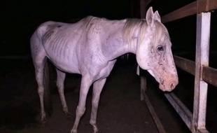 Un cheval dans un abattoir en Australie.