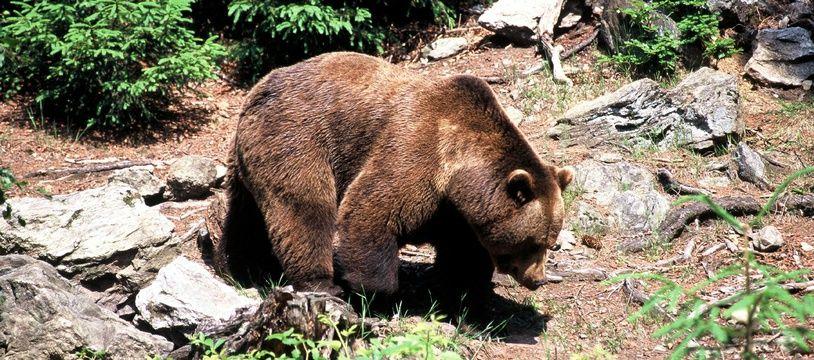 Un ours brun (photo illustration).