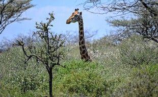 Une girafe sur l'île d' ol-Kokwe, au Kenya, le 5 octobre 2020.