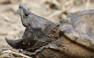 Une tortue alligator. (Illustration)
