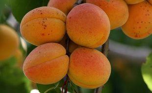 L'amande du noyau d'abricot, ok, mais avec modération.