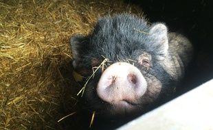 Un cochon (illustration).