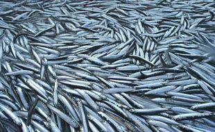 Des anchois.