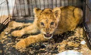 Le lionceau a été confié à une structure d'accueil adaptée