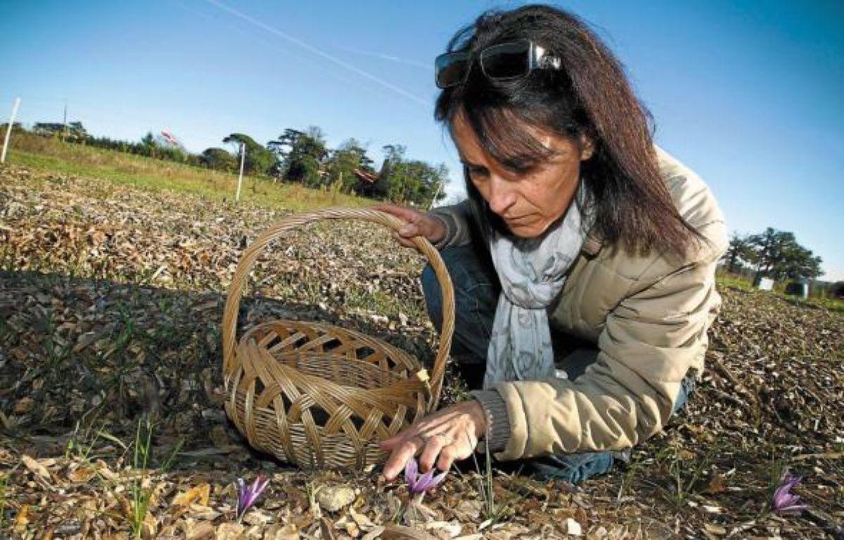 Pour sa première récolte, Myriam Salmon devrait obtenir 50 grammes de safran. –  F. Scheiber/20 Minutes