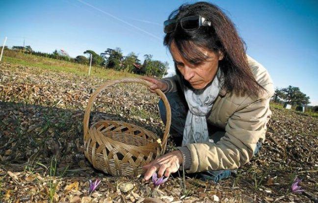 Pour sa première récolte, Myriam Salmon devrait obtenir 50 grammes de safran.