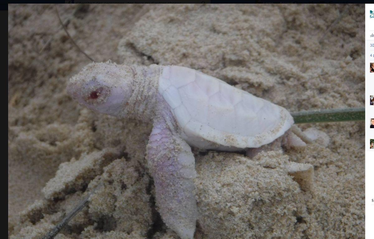 Capture d'une photo d'une tortue marine albinos postée sur Facebook par une ONG australienne. – Coolum District Coast Care Group via Facebook