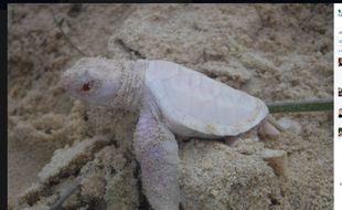 Capture d'une photo d'une tortue marine albinos postée sur Facebook par une ONG australienne.